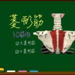 菱形筋群(大菱形筋・小菱形筋)【3D筋肉・解剖学】