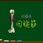 回旋筋(腰回旋筋・胸回旋筋・頚回旋筋)【3D筋肉・解剖学】