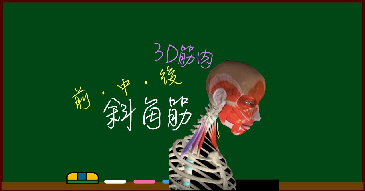 斜角筋(前斜角筋・中斜角筋・後斜角筋)【3D筋肉・解剖学】