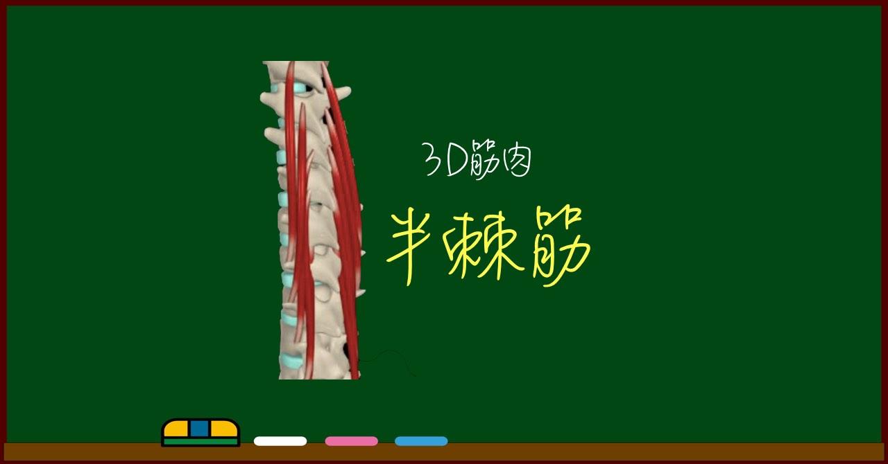 半棘筋(胸半棘筋・頸半棘筋・頭半棘筋)【3D筋肉・解剖学】