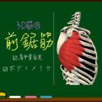 前鋸筋【3D筋肉・解剖学】