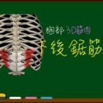 下後鋸筋【3D筋肉・解剖学】