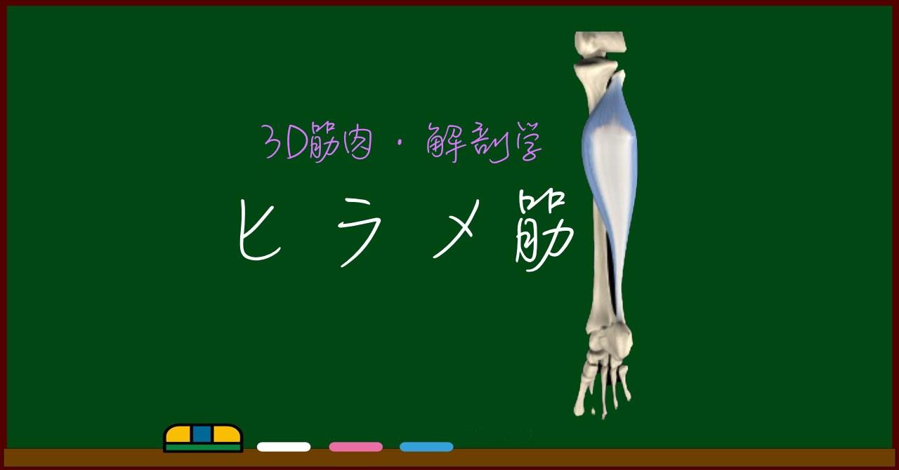 ヒラメ筋(下腿三頭筋)【3D筋肉・解剖学】
