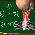 板状筋(頭板状筋・頸板状筋)【3D筋肉・解剖学】