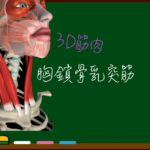胸鎖骨乳突筋【3D筋肉・解剖学】