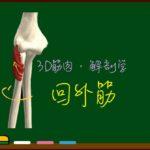 回外筋【3D筋肉・解剖学】