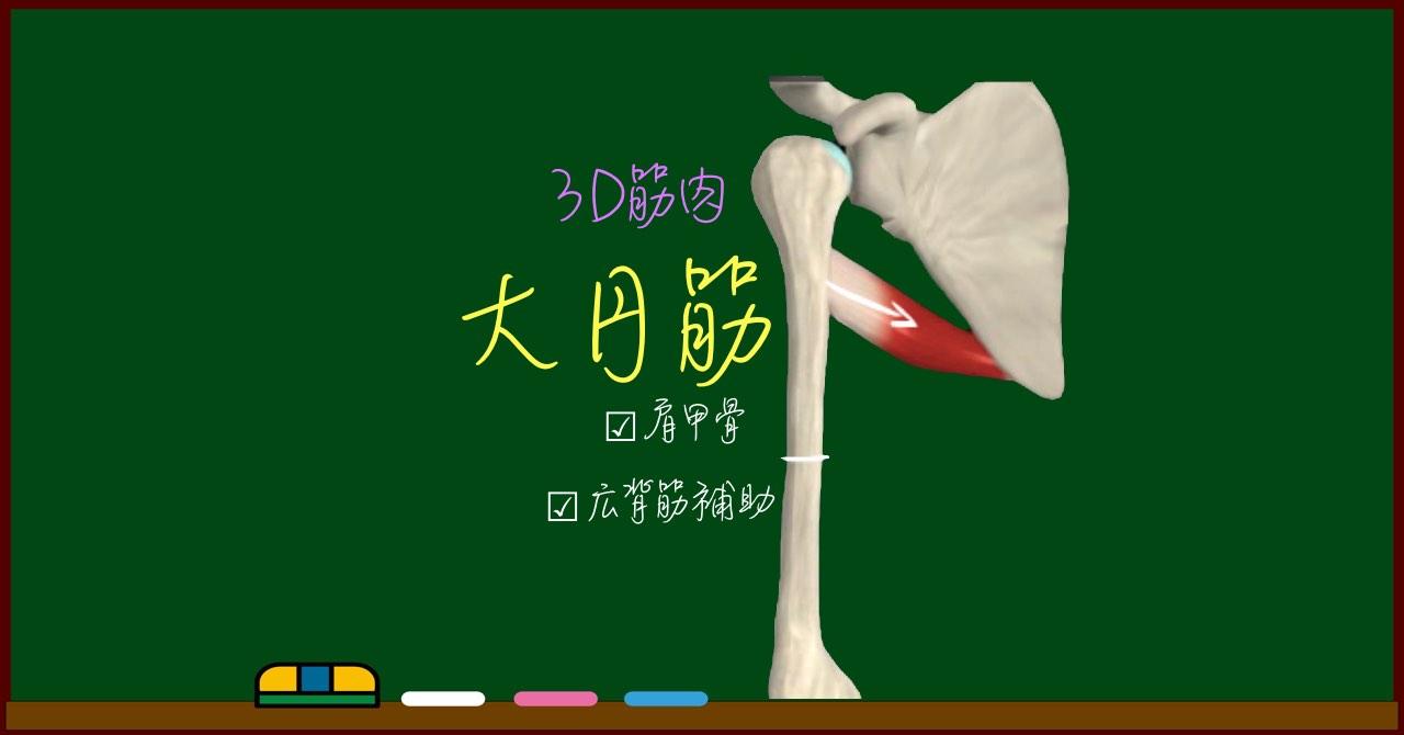 大円筋【3D筋肉・解剖学】