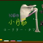 小円筋【3D筋肉・解剖学】