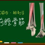 前脛骨筋【3D筋肉・解剖学】