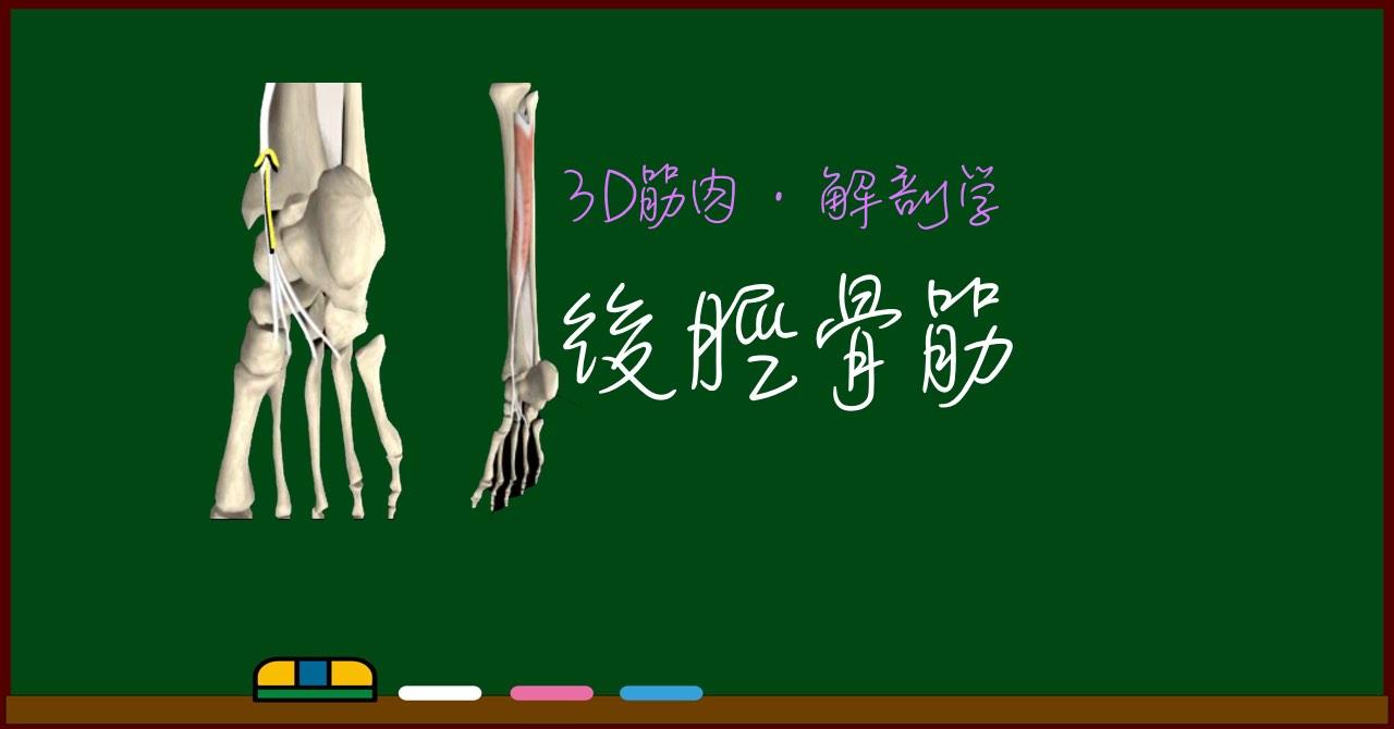 後脛骨筋【3D筋肉・解剖学】
