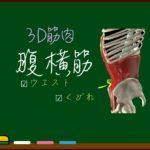 腹横筋【3D筋肉・解剖学】