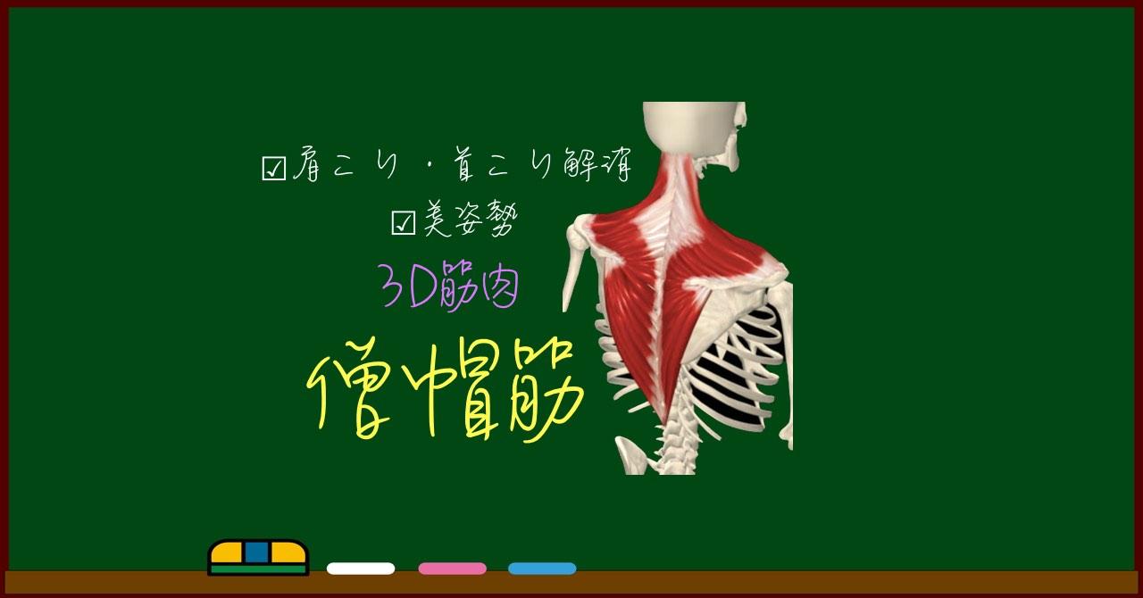 僧帽筋【3D筋肉・解剖学】