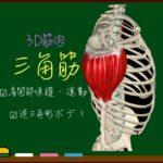 三角筋【3D筋肉・解剖学】