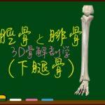 脛骨と腓骨(下腿の骨)【3D骨・解剖学】