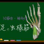 足の虫様筋【3D筋肉・解剖学】