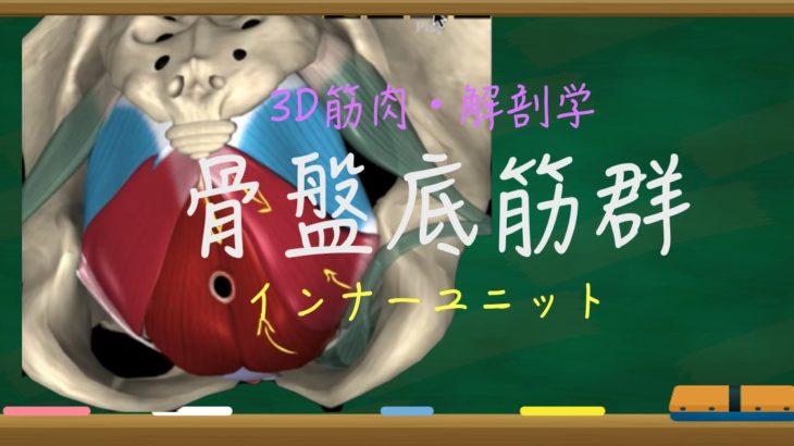 骨盤底筋群【3D 筋肉・解剖学】