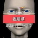 皺眉筋【3D筋肉・解剖学】