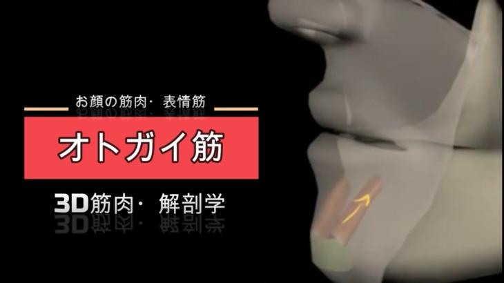オトガイ筋【3D筋肉・解剖学】