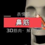 鼻筋【3D筋肉・解剖学】