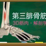 第三腓骨筋【3D筋肉・解剖学】