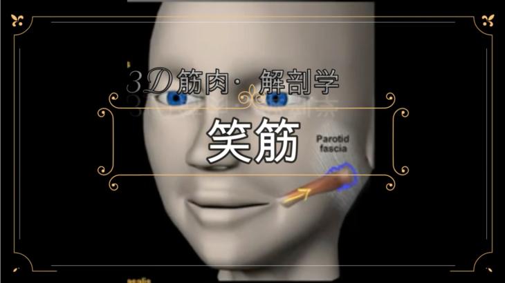 笑筋【3D筋肉・解剖学】