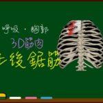 上後鋸筋【3D筋肉・解剖学】