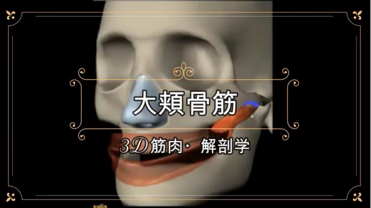 大頬骨筋【3D筋肉・解剖学】