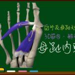 母趾内転筋【3D筋肉・解剖学】