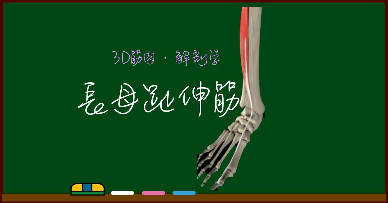長母趾伸筋【3D筋肉・解剖学】