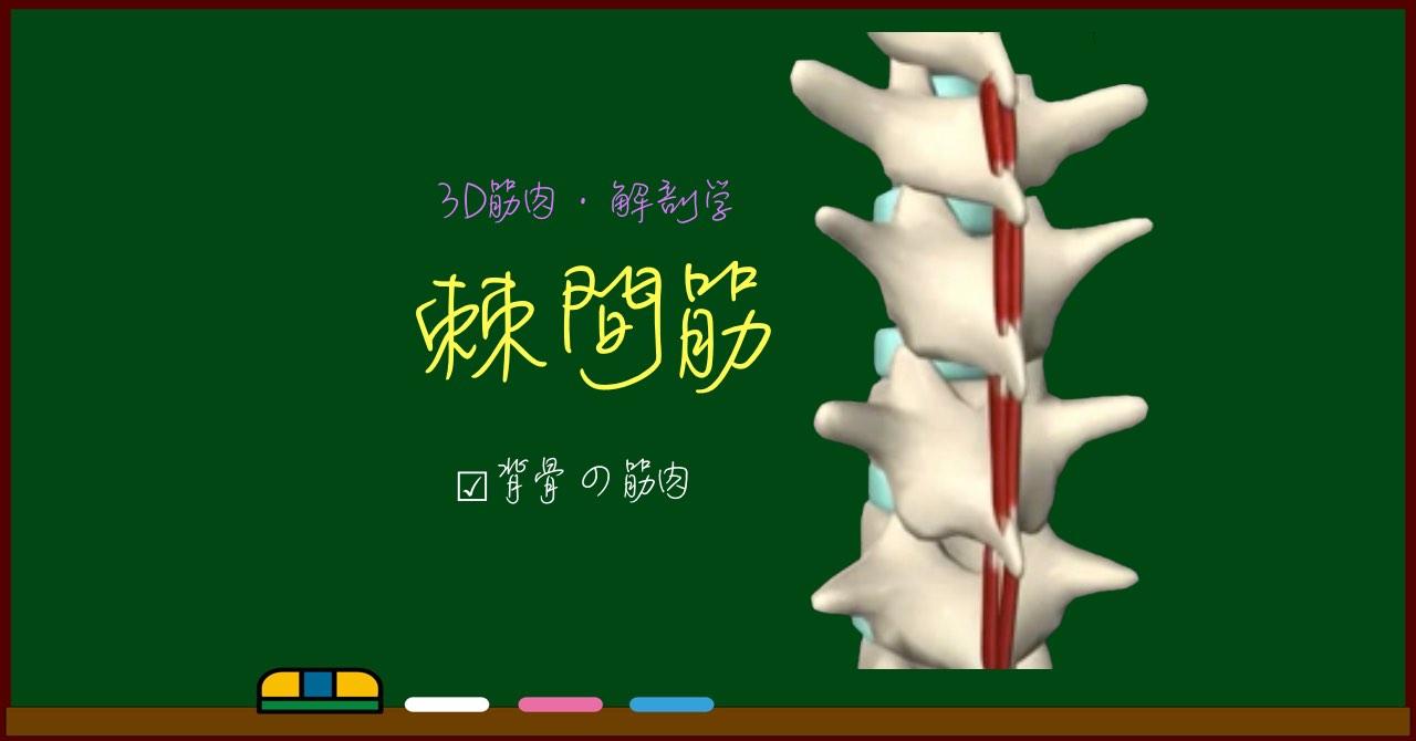 棘間筋【3D筋肉・解剖学】