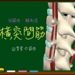 横突間筋【3D筋肉・解剖学】
