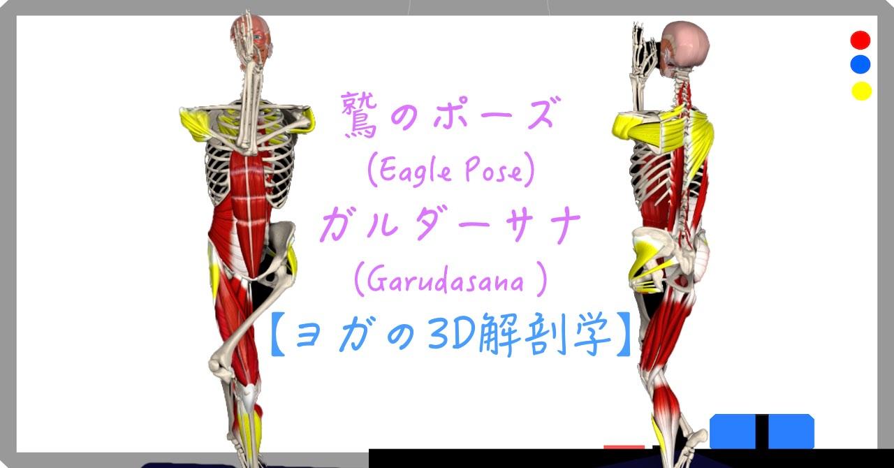鷲のポーズ (Eagle Pose)ガルダーサナ (Garudasana )【ヨガの3D解剖学】