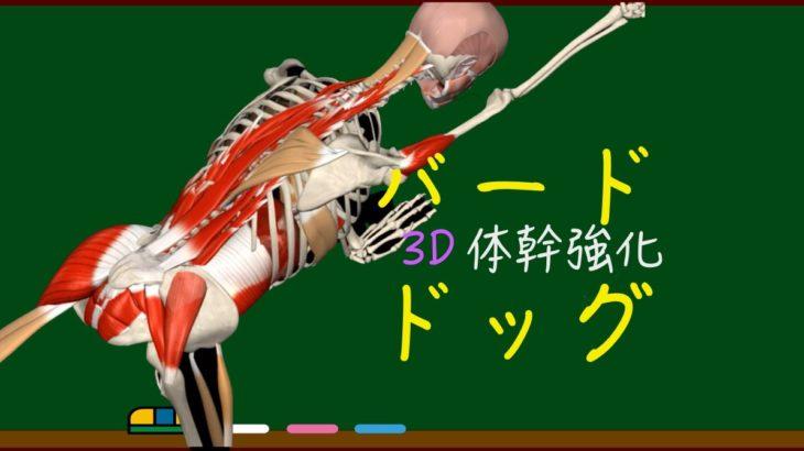 【バードドッグ】3D動画解説〜体幹(インナーコアと腹筋)強化に最適!