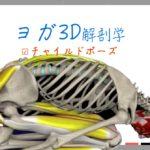 チャイルド・ポーズ(Child Pose) バラ・アーサナ (Balasana)【ヨガの3D解剖学】 子供のポーズと呼ばれる休息のポーズ
