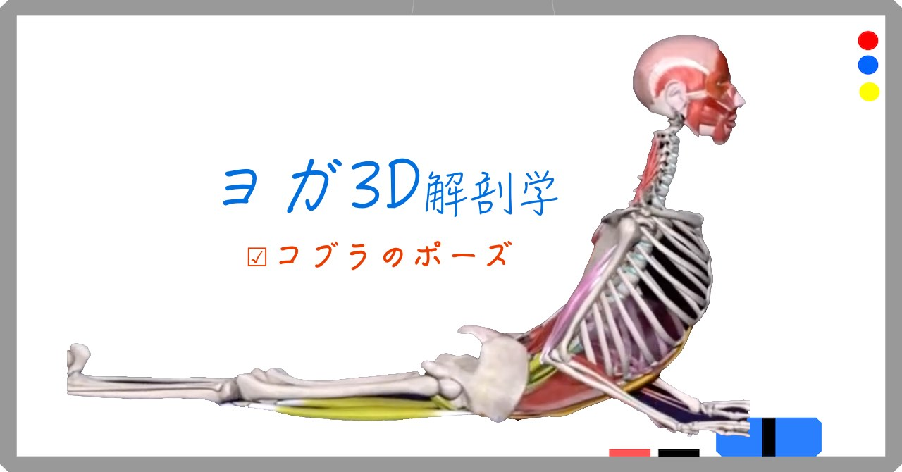コブラのポーズ (Cobra Pose) ブジャンガ・アーサナ (Bhujangasana)【ヨガの3D解剖学】