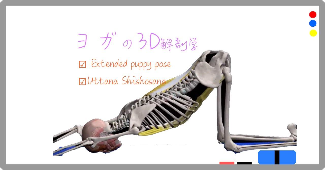 伸びをする子犬のポーズ (Extended puppy pose)ウッタナ・シショ・アーサナ( Uttana Shishosana ) 【ヨガの3D解剖学】