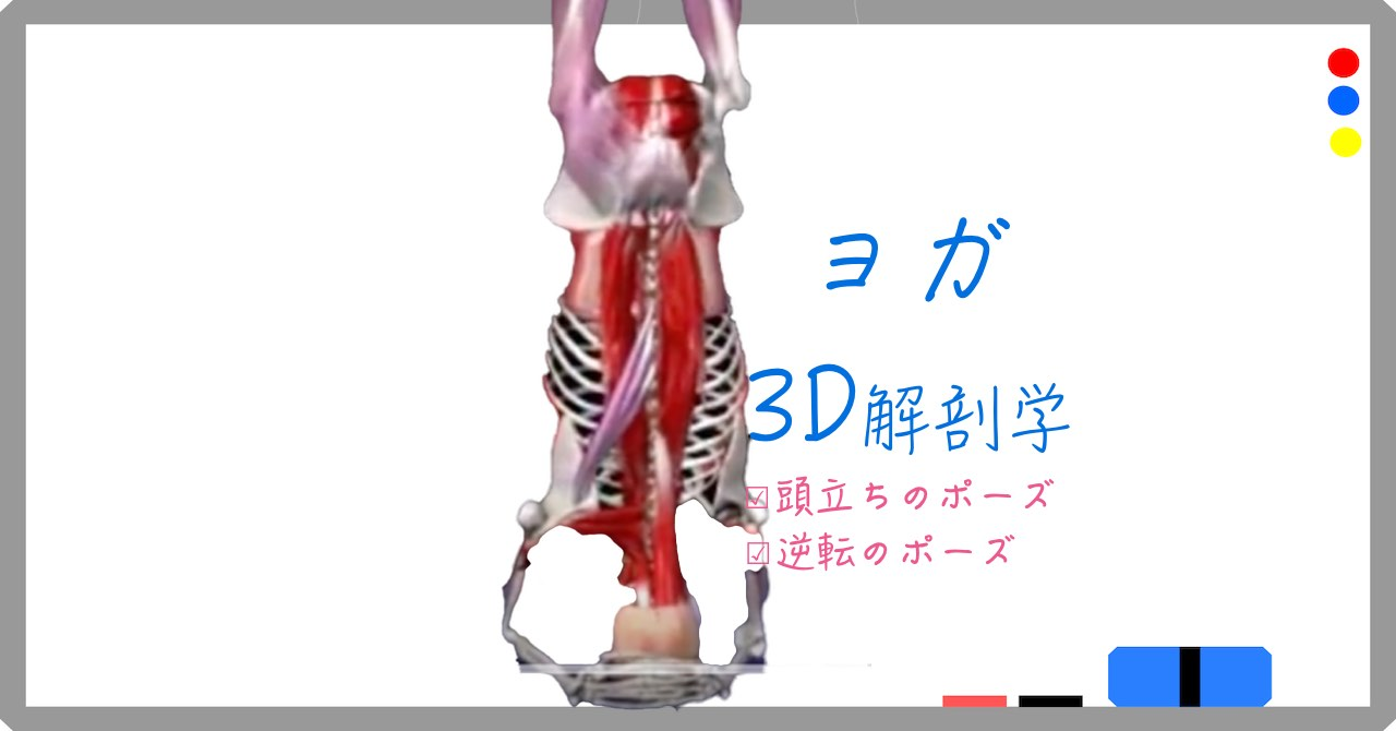 頭立ちのポーズ・ヘッドスタンド( Head Stand )サーランバ・シルシャ・アーサナ(Salamba Sirsasana)【ヨガの3D解剖学】逆転のポーズ