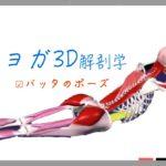 バッタのポーズ (Locust Pose)シャラバーサナ (Salabhasana)【ヨガの3D解剖学】