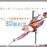 ねじった体側を伸ばすポーズ (Revolved Side Angle Pose) パリヴルッタ・パールシュヴァコーナ・アーサナ (Parivrtta Parsvakonasana)【ヨガの3D解剖学】