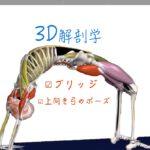 ブリッジ・上向きの弓のポーズ(Upward Bow Pose・Wheel Pose)プウールドヴァ・ダニュラ・アーサナ(Urdhva Dhanurasana  )【ヨガの3D解剖学】