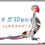 上向きの犬のポーズ(Upward-Facing Dog Pose) ウールドゥヴァ・ムカ・シュヴァーナ・アーサナ (Urdhva Mukha Svanasana)【ヨガの3D解剖学】