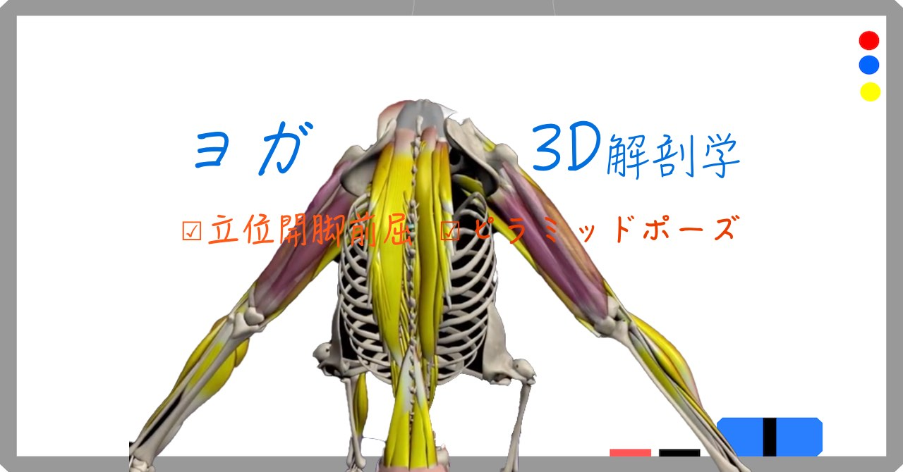 ピラミッドポーズ / 開脚前屈(Wide-Legged Forward Bend)プラサーリタ・パードゥッターナ・アーサナ(Prasarita Padottanasana)【ヨガの3D解剖学】
