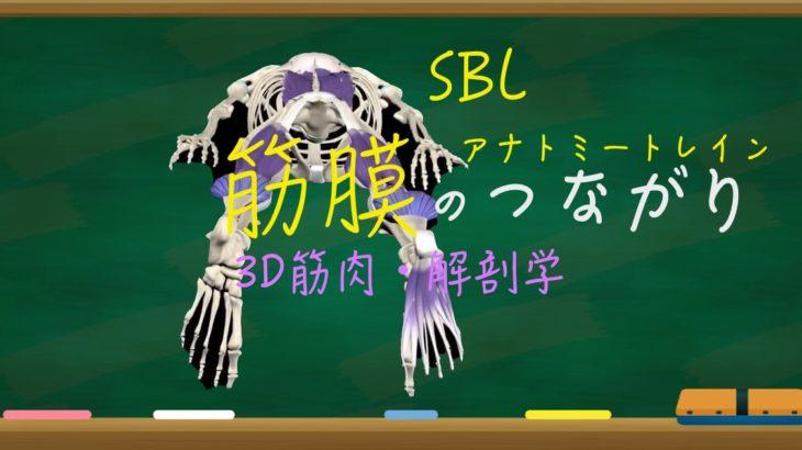 筋膜のつながり(背面)アナトミートレイン(SBL)
