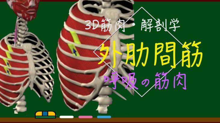 外肋間筋【3D筋肉・解剖学】